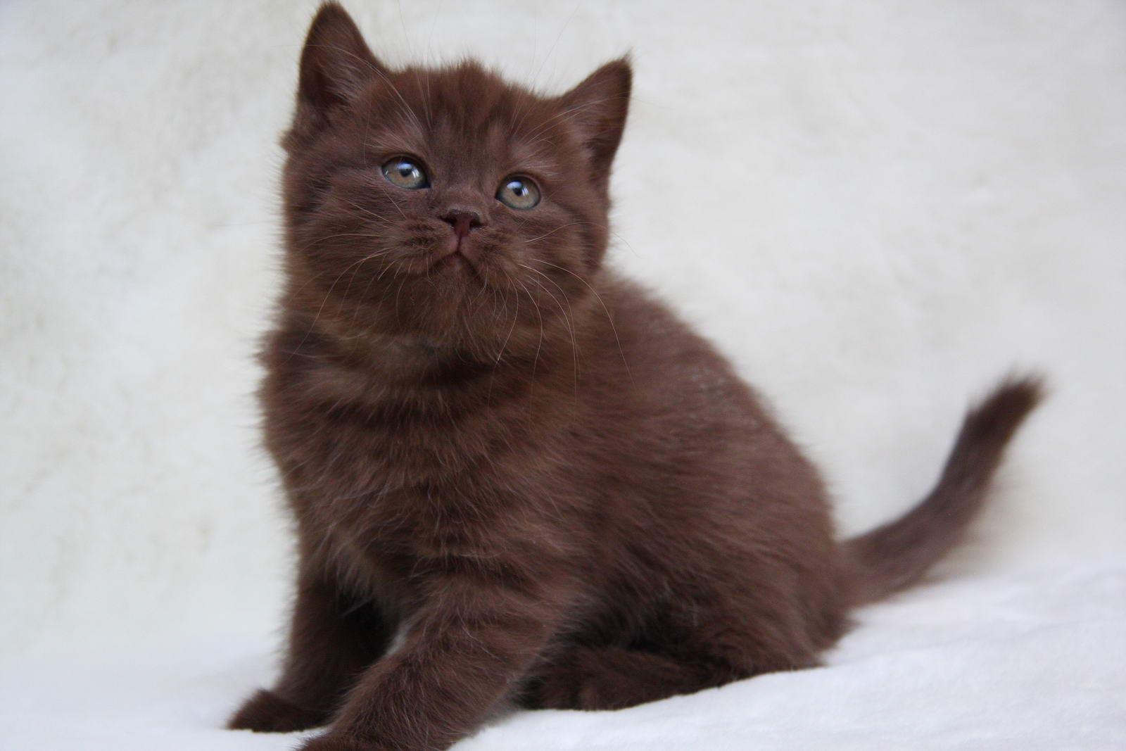 кот британец фото шоколадный