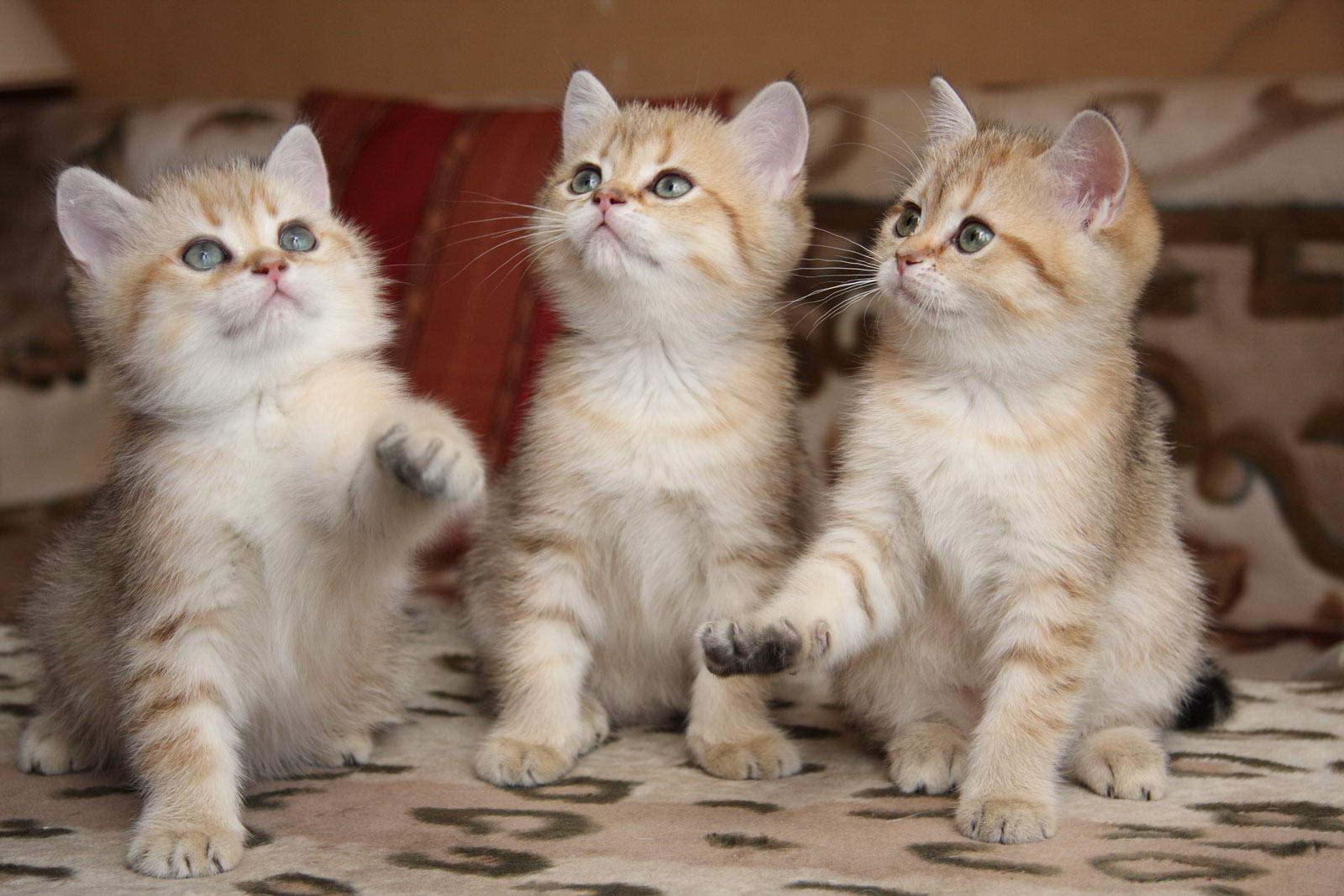 Британские коты рост и вес