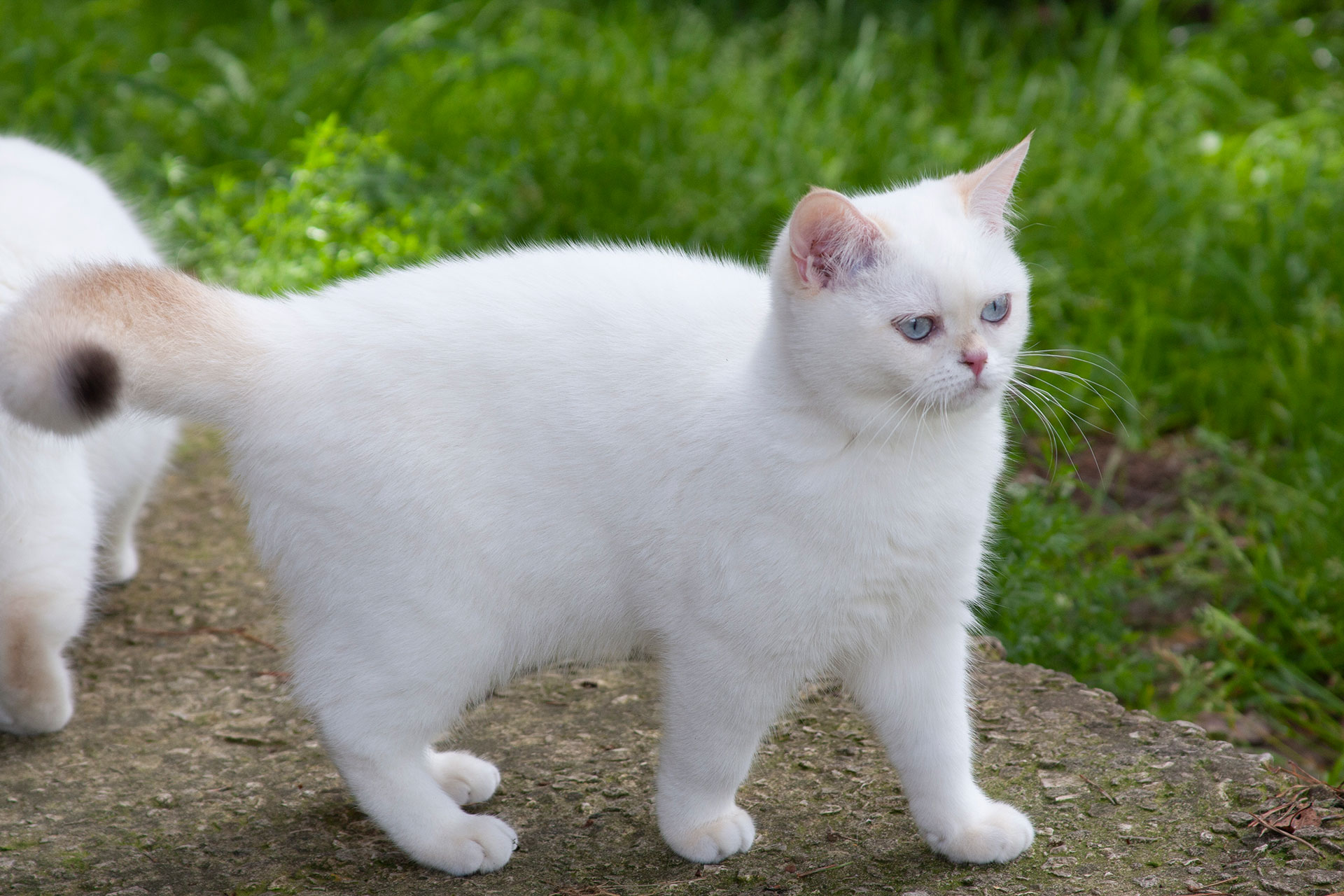 The female cat Riona Snowflake SunRay