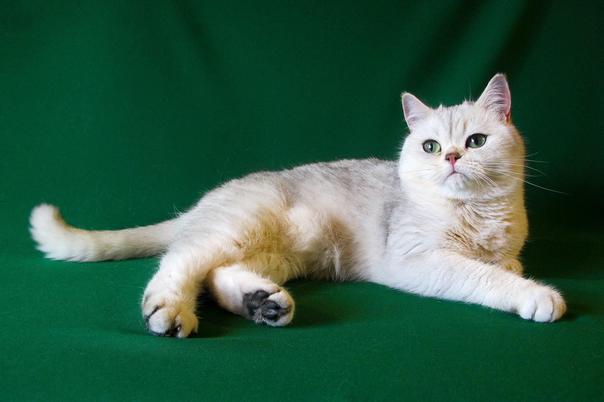 The female cat Roni-Britney Silver SunRay british shorthair