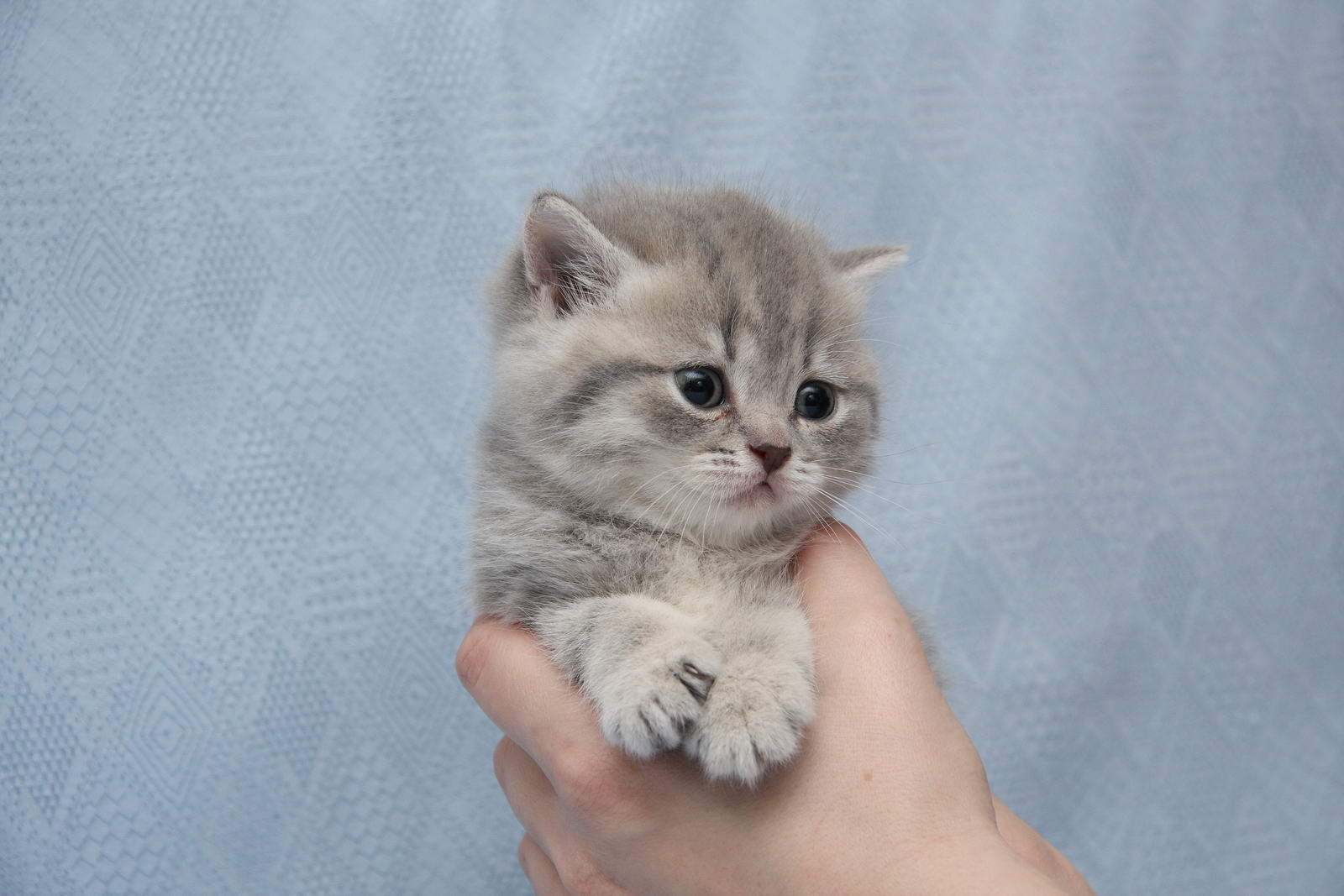 фото котят голубого британца #12