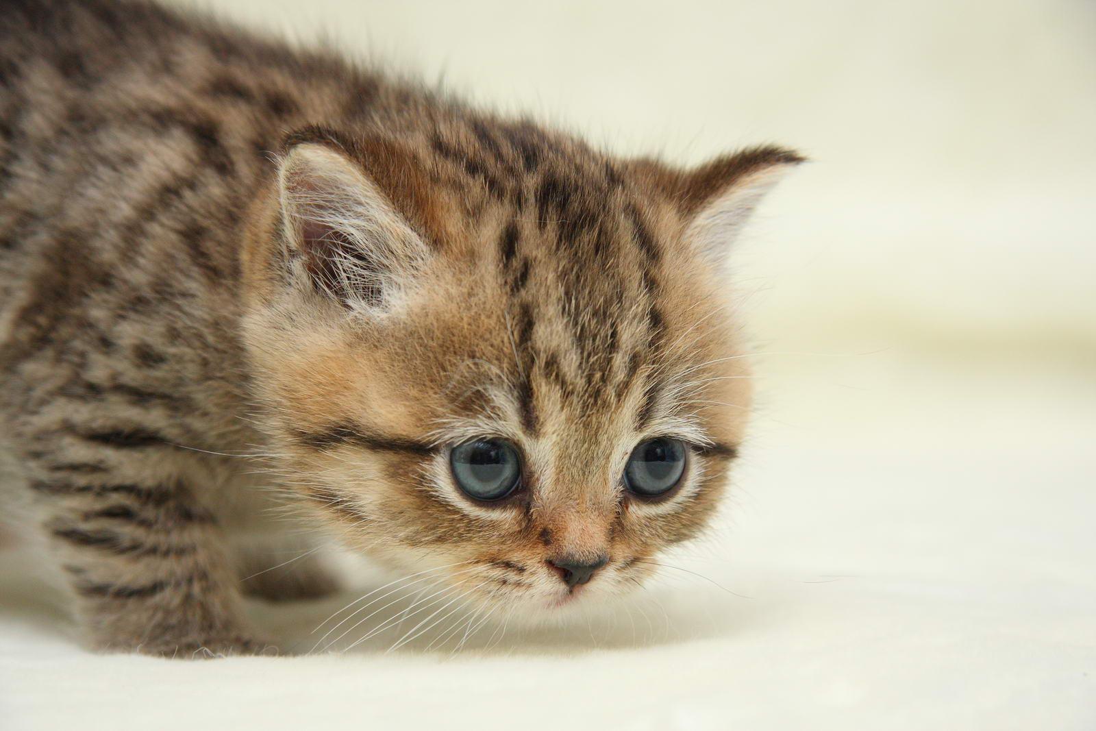 пол британского котенка фото #18