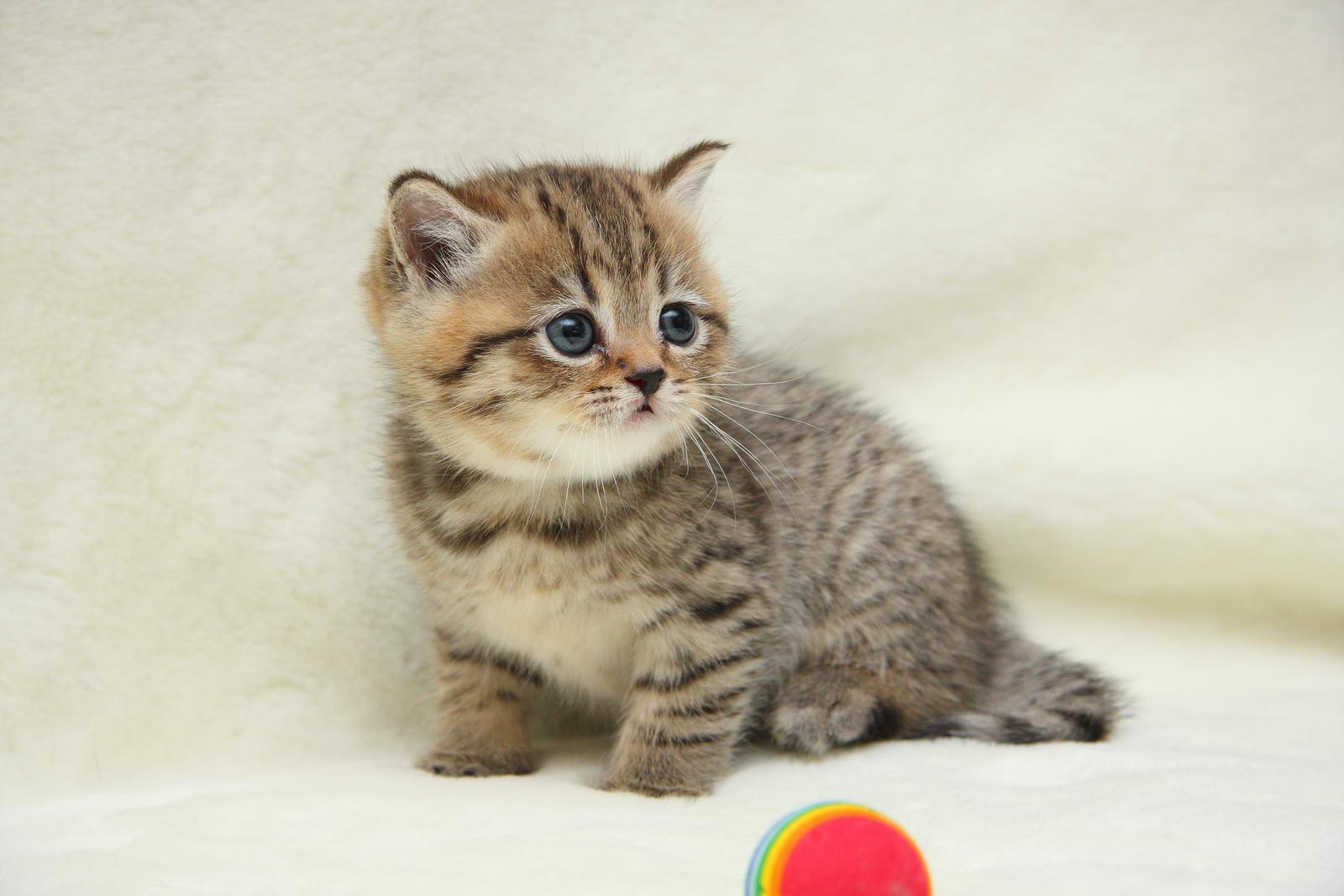 Фото британский котенок snoopy marvel sunray