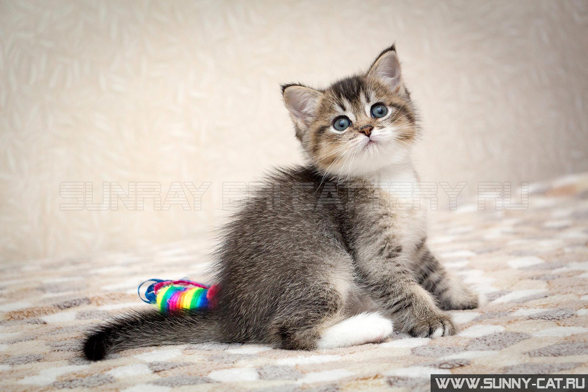 Выставки кошек в с петербурге кошки пород thumbnail