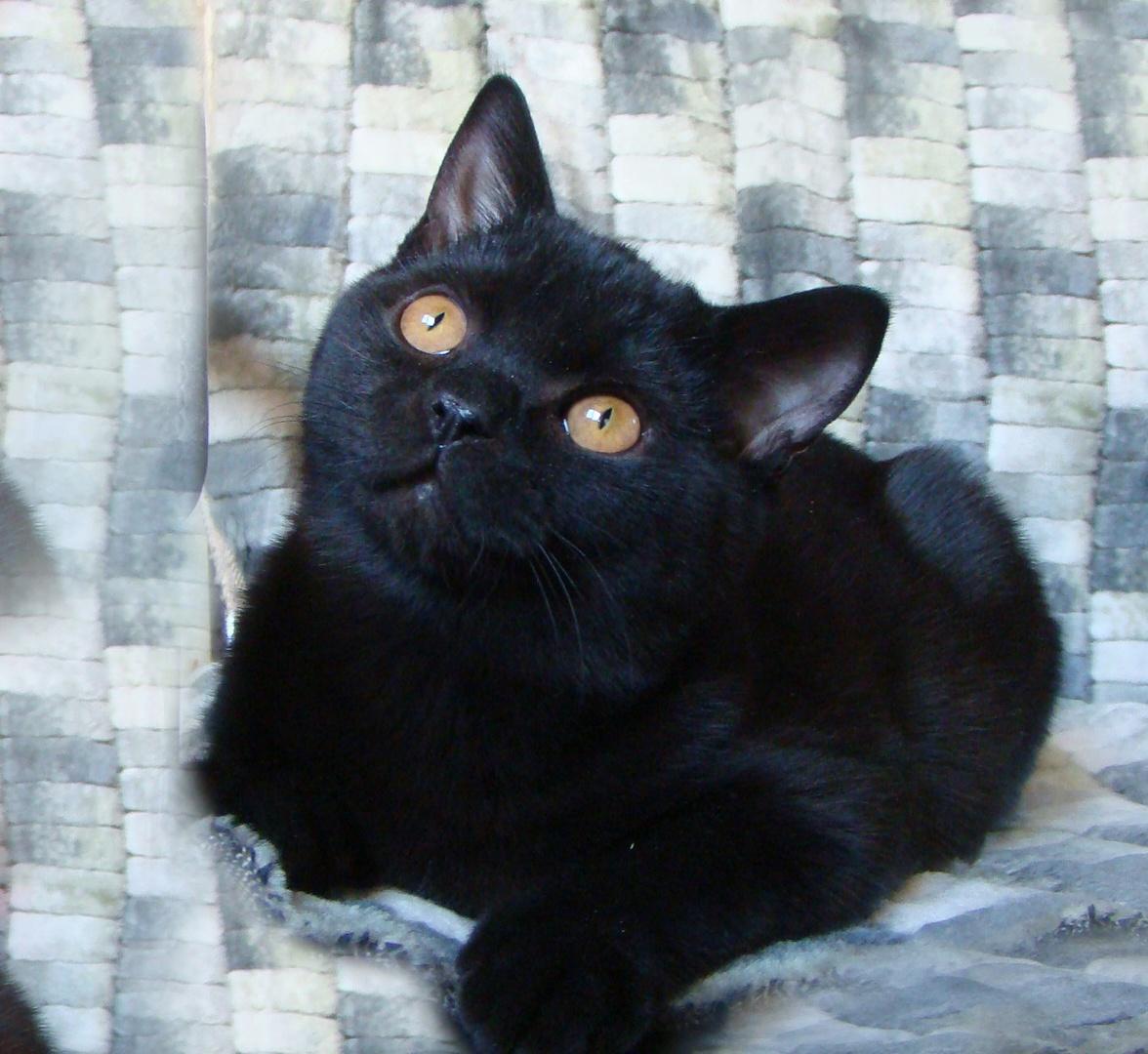 Шотландская прямоухая черная кошка