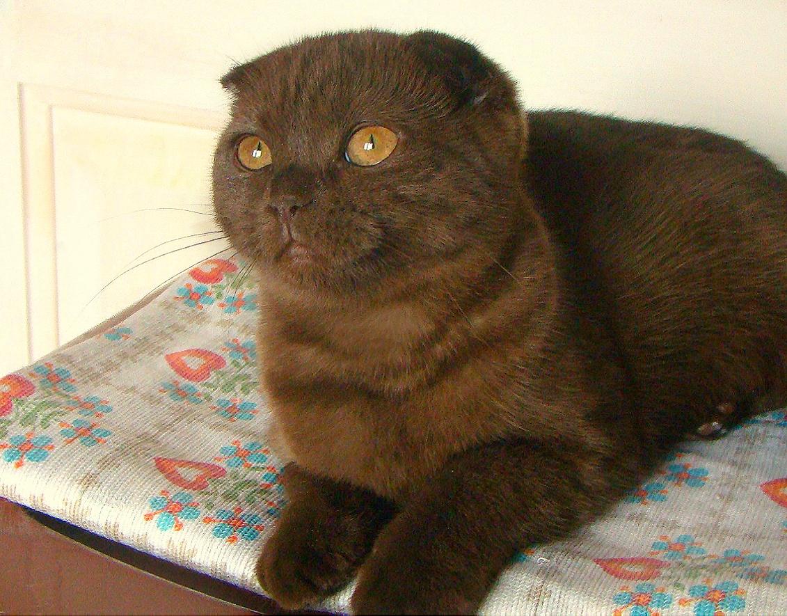 вислоухие котята шоколадные фото