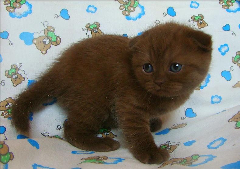 Шотландский вислоухий кот  шоколадный
