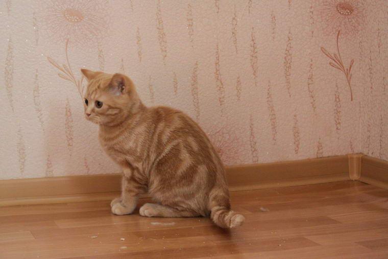 Шотландская вислоухая рыжая кошка