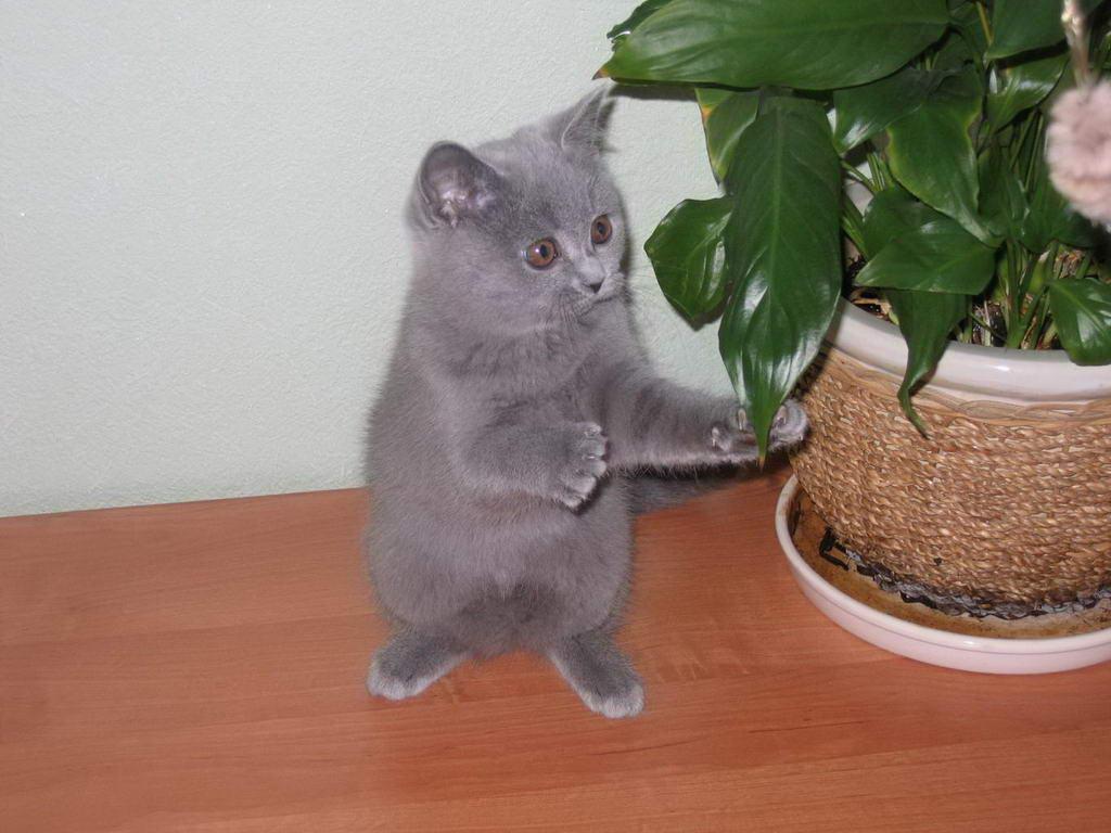 http://www.sunny-cat.ru/datas/users/299-golubaya_koshka_stoit_s_lapami.jpg