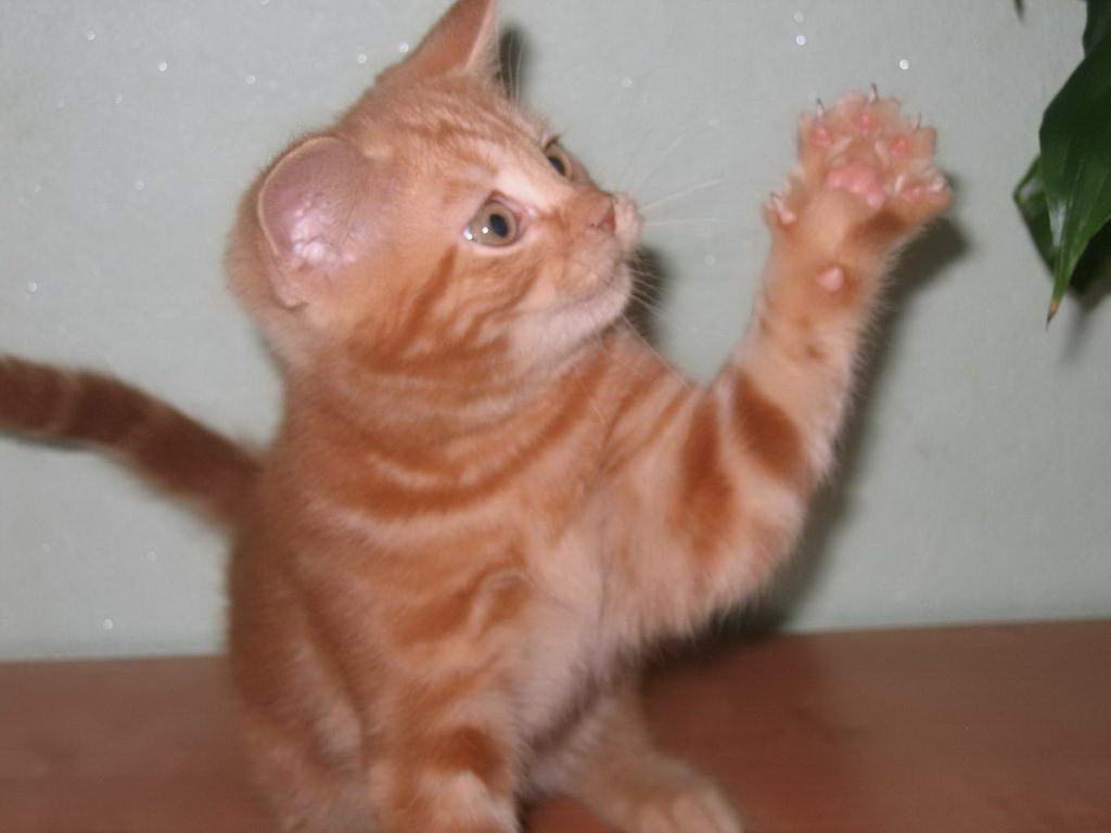 Куплю британского рыжего кота