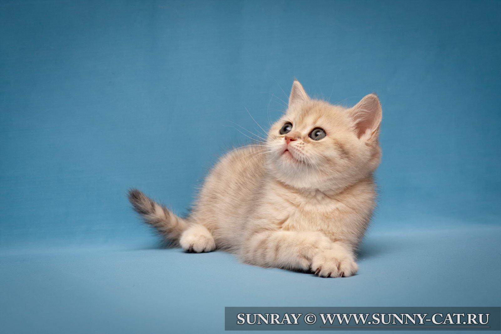 голубой британец котят фото