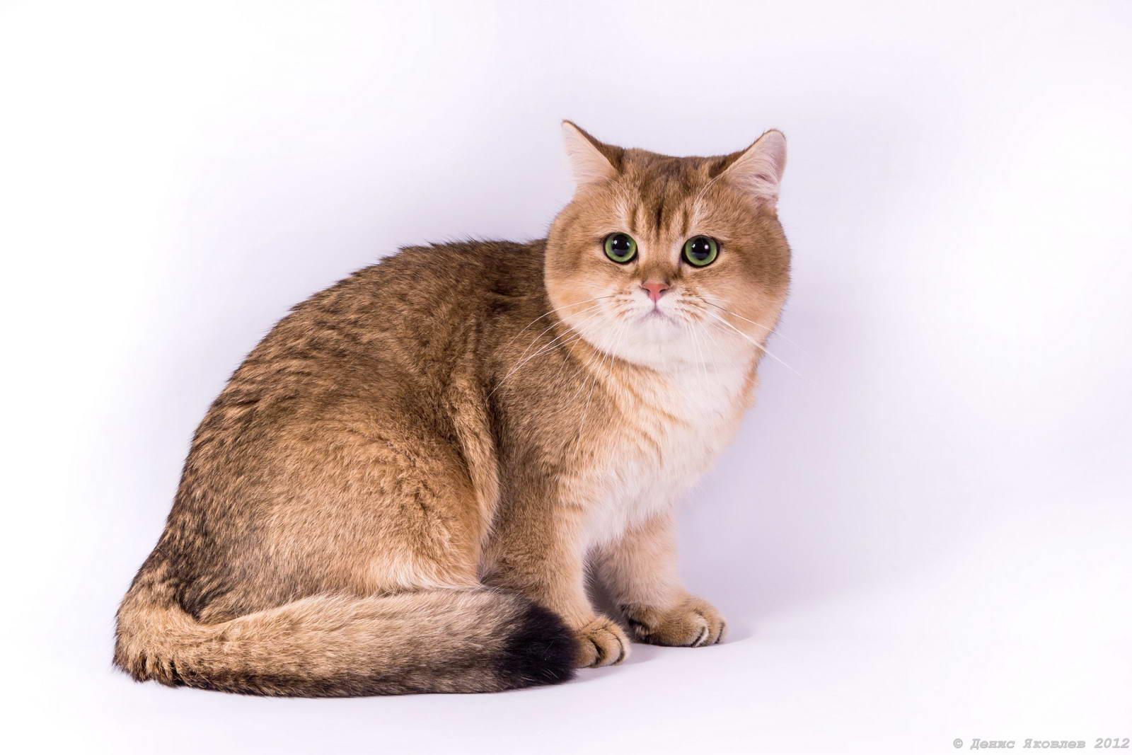 Гладкошерстный кот рыжий