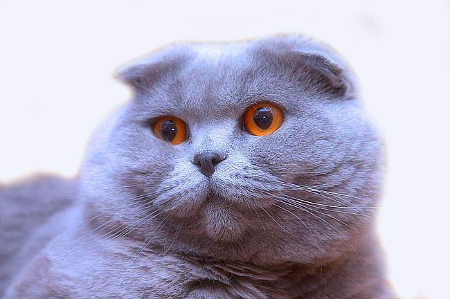 Вислоухий кот украина