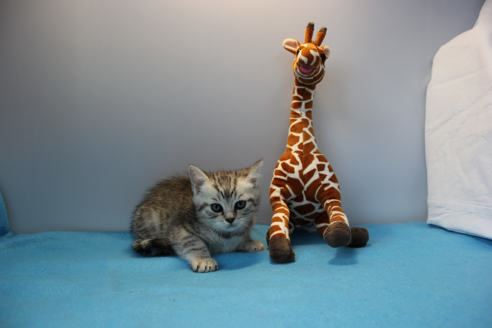 Сибирская кошка фото kotpes