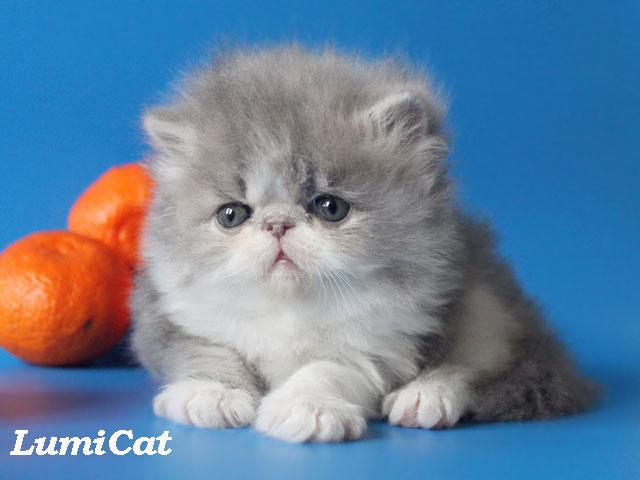 Персидские котята в ростове купить