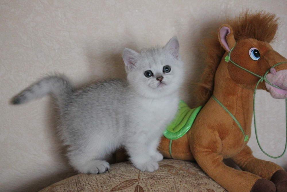 Коты шиншиллы питомник
